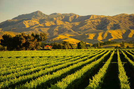 Rij van mooie druivenwerf vóór zonsondergang met berg in Blenheim, Nieuw Zeeland