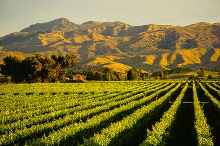 Rij van mooie druivenwerf vóór zonsondergang met berg in Blenheim, Nieuw Zeeland Stockfoto - 66419587