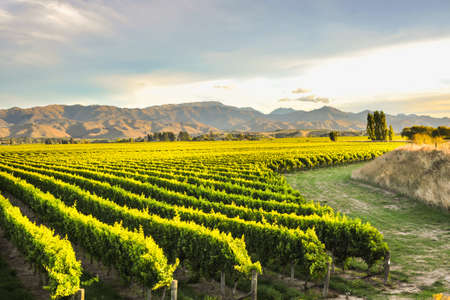 Row of beautiful grape yard before sunset with mountain in Blenheim, New Zealand Stock Photo