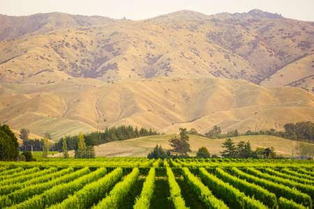 Rij van prachtige druiven werf voor zonsondergang met berg in Blenheim, Nieuw-Zeeland Stockfoto - 66419621