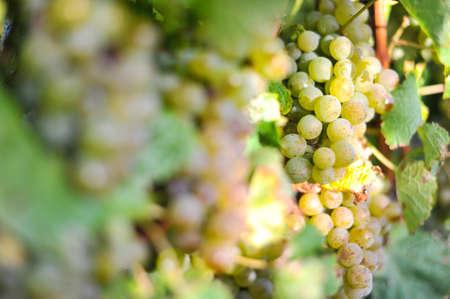 Mooie druif in boerderij aan Blenheim, Nieuw-Zeeland