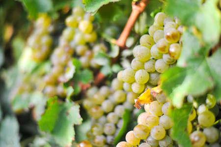 Beautiful grape in farm at Blenheim, New Zealand