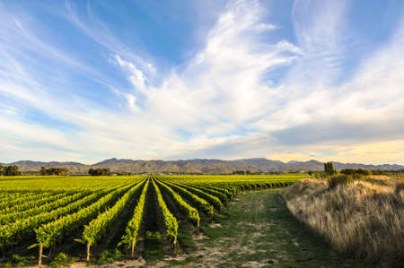 Row of beautiful grape yard before sunset with mountain in Blenheim, New Zealand