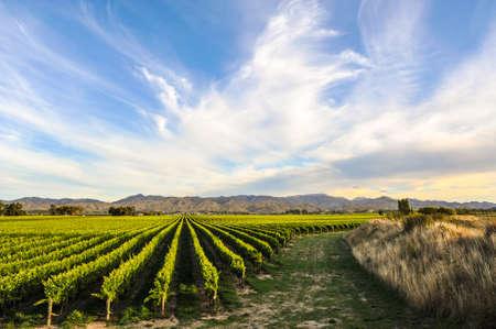 Rij van prachtige druiven werf voor zonsondergang met berg in Blenheim, Nieuw-Zeeland Stockfoto - 66420177