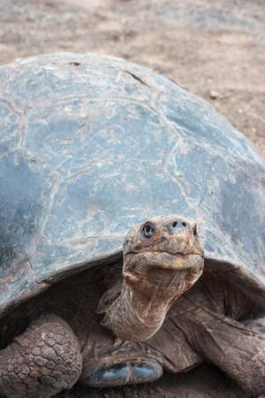 Cerro Azul, subspecies of the protected Galapagos Giant Tortoise. In captivity at the Giant Tortoise Breeding Centre on Isabela Island, Galapagos, Ecuador.