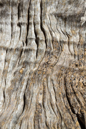 Olive tree trunk, close up of the wood grain and texture.