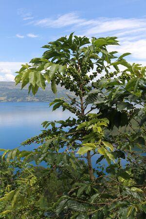 Coffee plantation on the hillside overlooking Lake Toba; North Sumatra, Indonesia.