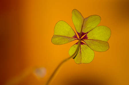 Image of four leaf clover with yellow background