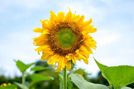 Sun flower: Schöne Sonnenblume Lizenzfreie Bilder