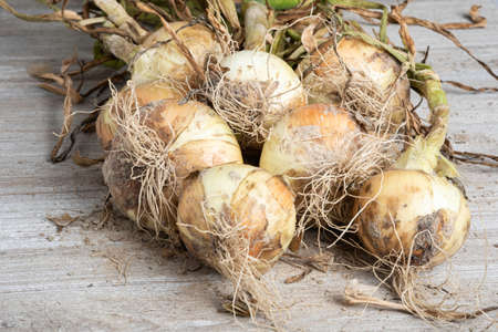 An unearthed harvest of sweet white onions with green stalks, roots and sandy soil set on a wood panel. Banco de Imagens