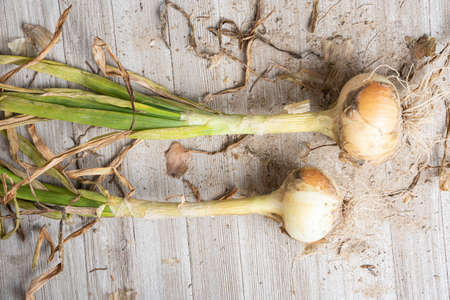 An unearthed harvest pair of sweet white onions with green stalks, roots and sandy soil set on a wood panel.