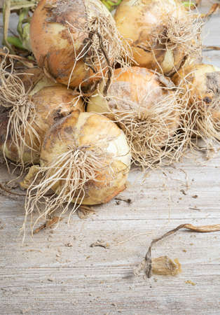 Macro shot with shallow depth or selective focus of freshly unearthed harvest of sweet white onions with stalks, roots, and sandy soil on wood panel.