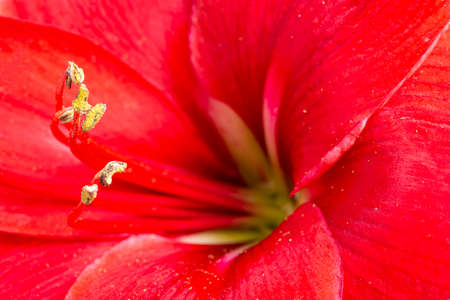 A macro shot or extreme close-up of a red amaryllis flower in full bloom with a very shallow depth of selective focus.
