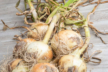 Macro shot with shallow depth or selective focus of unearthed harvest of sweet white onions with stalks, roots, and sandy soil set on a wood panel.