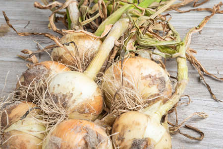 Macro shot with shallow depth or selective focus of unearthed harvest of sweet white onions with stalks, roots, and sandy soil set on a wood panel. 版權商用圖片
