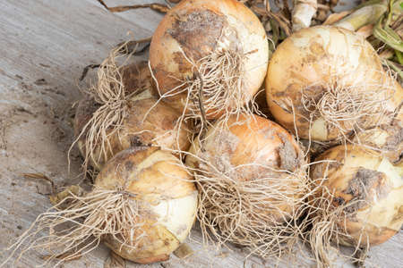 Macro shot with shallow depth or selective focus of unearthed harvest of sweet white onions with stalks, roots, and sandy soil set on a wood panel. Imagens