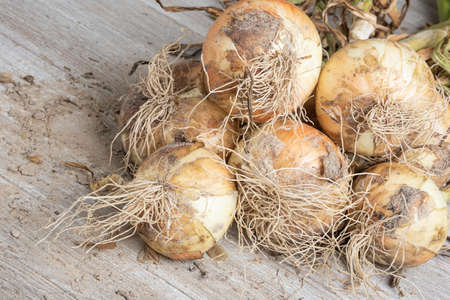 Macro shot with shallow depth or selective focus of unearthed harvest of sweet white onions with stalks, roots, and sandy soil set on a wood panel. Banco de Imagens