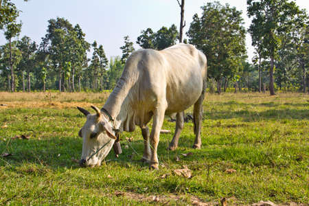ruminants: Cows eating grass in Thailand Stock Photo
