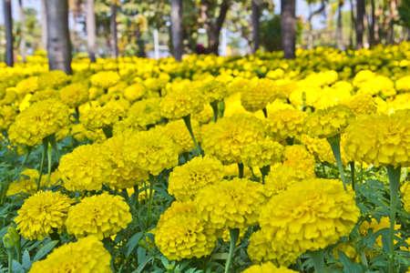 Marigolds yellow in garden Stock Photo
