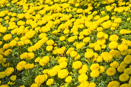Marigolds yellow in garden Stock Photo