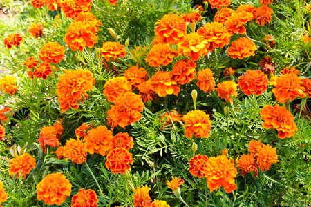 Marigolds in gaden,thailand