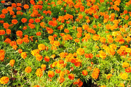 Marigolds in garden from Thailand Stock Photo