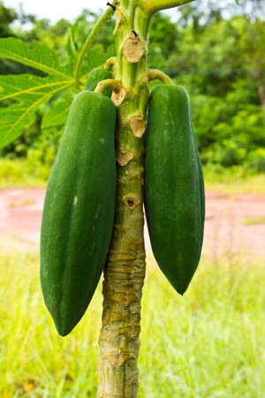 Young papaya  Stock Photo