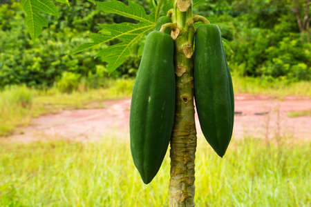 Young papaya on tree photo