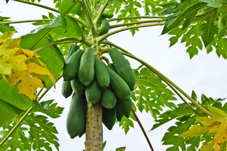 green papayas on tree Stock Photo