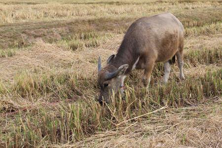 thai little buffalo