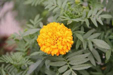 Marigold flower yellow photo