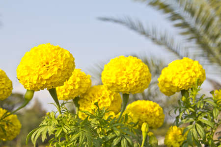 Yellow Flower, Marigold photo