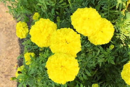 Yellow Flower, Marigold Stock Photo