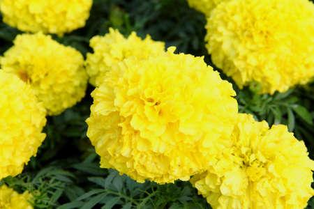 Marigolds flower,Yellow Flower,  photo