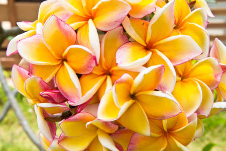Beautiful plumeria flower in the tropical garden