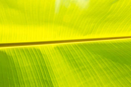 Banana leaf background  photo