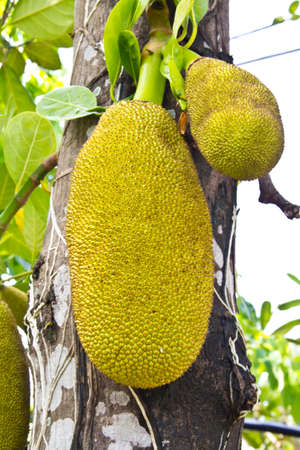 Jackfruit on the tree  photo