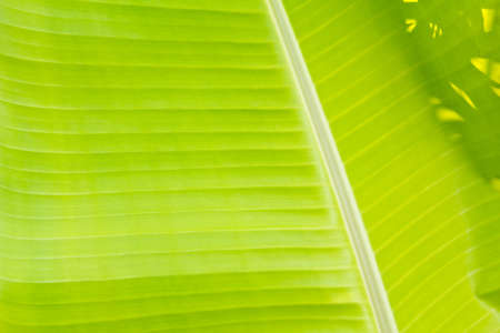 green banana leaf background  photo