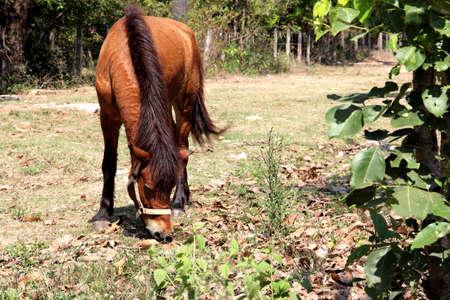 beautiful brown horse grazes photo