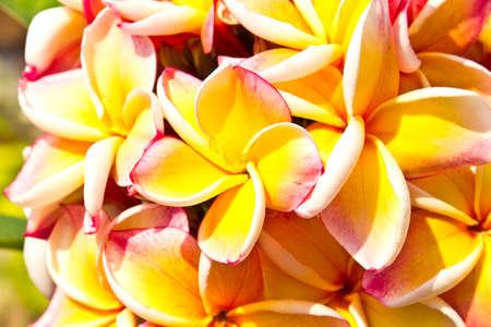 frangipani flowers in garden photo