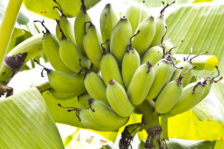 Bunch of ripening bananas on tree  photo