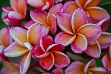 leaf close up: frangipani flowers in garden