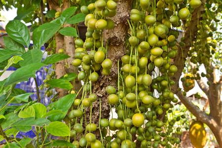 Green Burmese grape on tree Stock Photo