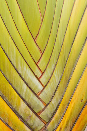 Shaft is a type of banana leaves cascaded like a blow background texture Stock Photo