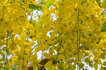 cassia: Cassia Flower in summer,Cassia flower