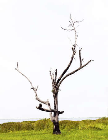 Dead trees and dry are rice farmers in Thailand