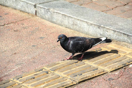Grey Culver in the city  Close up off gray dove in the group of pigeons on the floor of square in korea photo