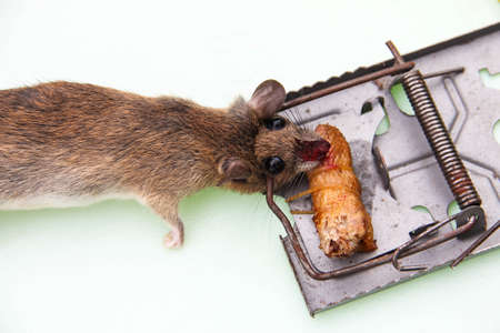 dead mouse trapped by mouse trap Stock Photo
