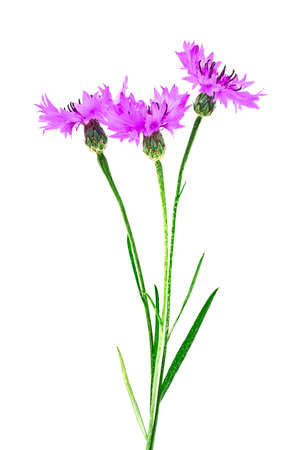 centaurea: Violet Cornflower - Centaurea on a white background