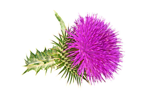 Milk Thistle plant (Silybum marianum) herbal remedy. Scotch thistle, Cardus marianus, Blessed milk thistle, Marian Thistle, Mary Thistle, Saint Marys Thistle